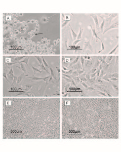 Figure 1. Photomicrographs of MSCs during the primary